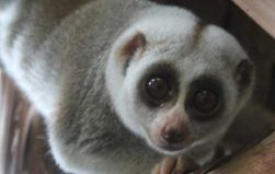 "Pet trade's ""cute"" and ""adorable"" label endangers the slow loris"