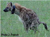 An adult female from the Mara Hyena Project clan provides some of the poop that researchers collected to study stress hormone levels. Photo by Dr. Jeffrey French