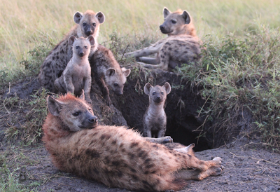 A hyena den, Photo by Lily Johnson-Ulrich from the MSU Hyena Research blog.