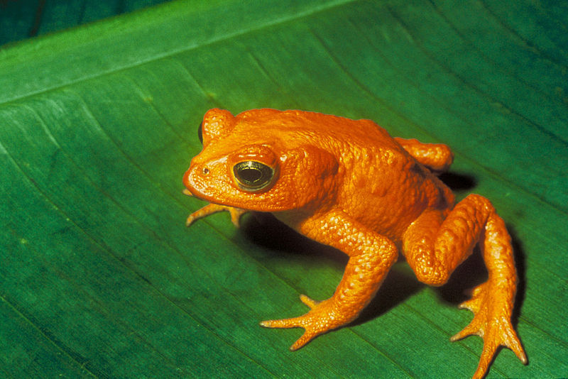 The only place you'll ever see a Golden toad (Bufo periglenes) is in photos. Scientists think climate change may have played a significant role in this Costa Rican animal's extinction. Photo by Charles H. Smith courtesy of USFWS