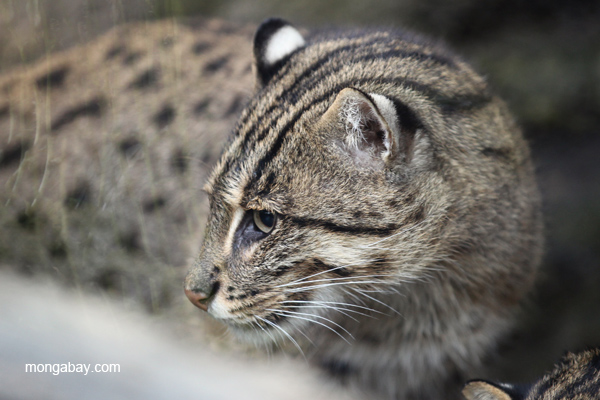 Asia's Fishing cat (Prionailurus viverrinus). Short, powerfully built and about double the size of a domestic house cat. Photo by Rhett A Butler