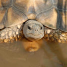 Madagascar's largest tortoise could become extinct in 2 years