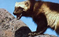 Field Notes: Wooing wolverines with high-tech lures