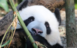 China's reforestation program a letdown for wildlife, study finds