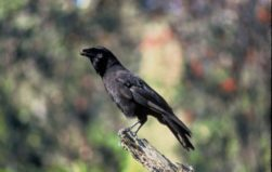 Hawaiian crow could help us learn about evolutionary origins of tool-using behavior