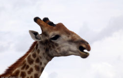 There are four species of giraffes, not one: new study