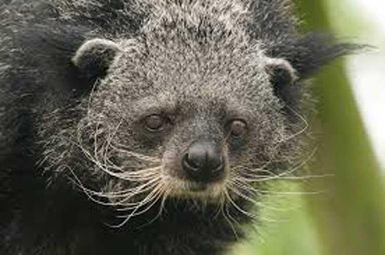 It's a bear, it's a cat; no, it's a binturong and it's threatened