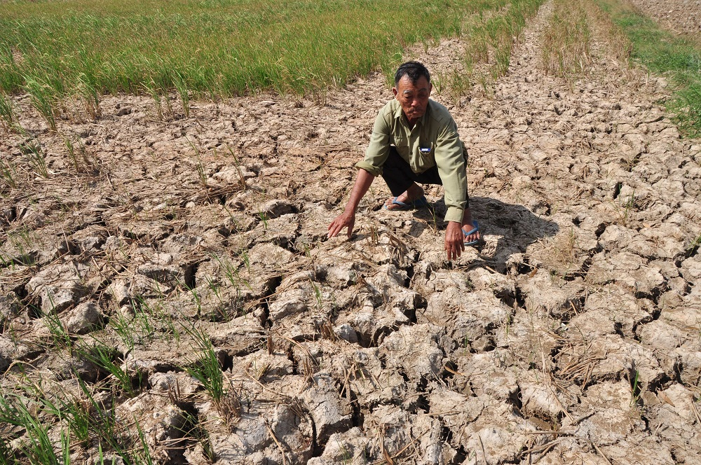This Delta farmer's winter-spring rice crop was blighted by salt intrusion. Credit Dinh Tuyen, Thanh Nien Daily News.
