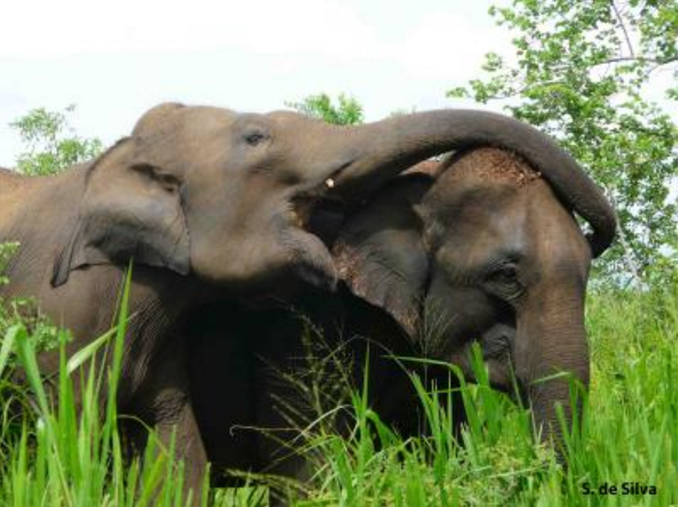 An adult female Asian elephant asserts dominance over another by putting her trunk over her.