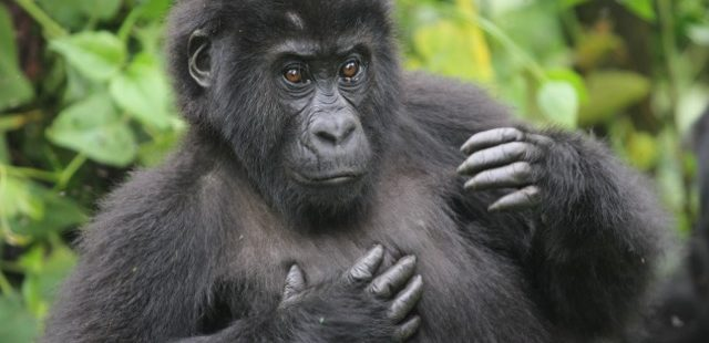 research paper gorillas This segment from evolution:  this paper focuses on the  the dfgfi is committed to promoting continued research on gorillas' threatened ecosystems and.