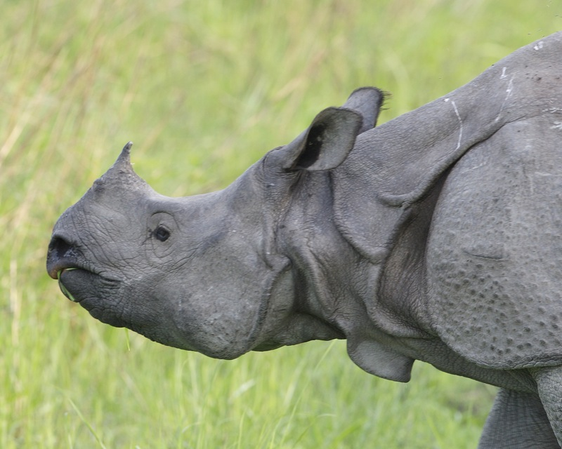 Greater one-horned rhino in Kaziranga Park. On the black market, their horns can fetch more per ounce than gold, making them vulnerable to poaching. Photo By Lip Kee/Flickr