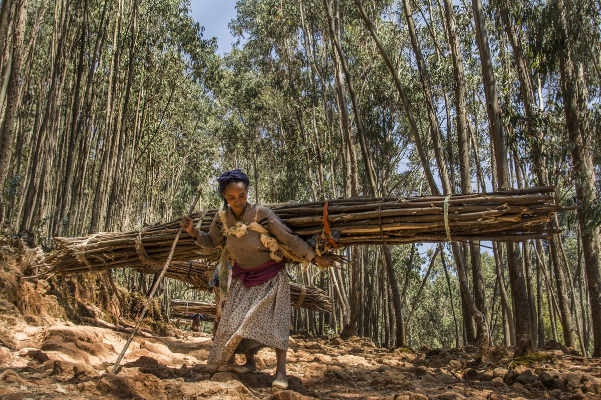 Amone Ayesa collects wood in the Entoto forest outside of Addis Ababa, Ethiopia. The wood left over after household use will fetch about $2 to help feed her and her children. Photo by Maheder Haileselassie Tadese for Mongabay