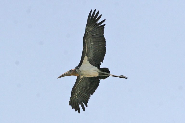 A Greater Adjutant stork in flight. Inspiring conservation efforts in India and Cambodia are giving this species a fighting chance against extinction. Photo by Ron Knight licensed under the Creative Commons Attribution 2.0 Generic license