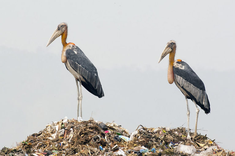 Two Greater Adjutant storks at Guwahati Dump. Photo by Yathin S. Krishnappa CC BY-SA 3.0