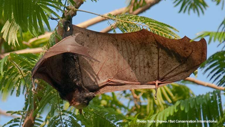 The golden crowned flying fox (Acerodon jubatus) spreading its five-foot wings. Credit: Yushi Osawa / Bat Conservation International