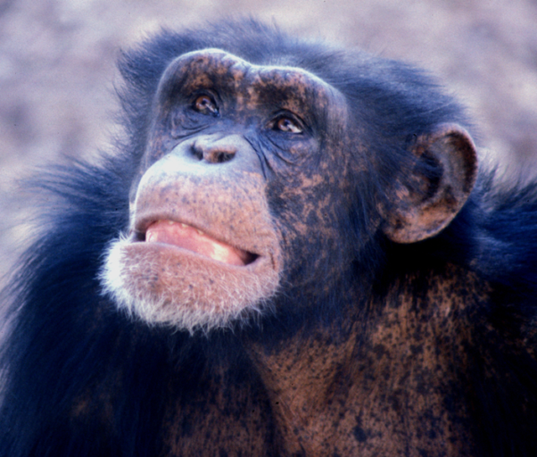 The future of great apes may not only depend on cutting edge science, but on respect for, and a rebirth of, traditional indigenous knowledge. Photo by Frans de Waal licensed under the Creative Commons Attribution 2.5 Generic license