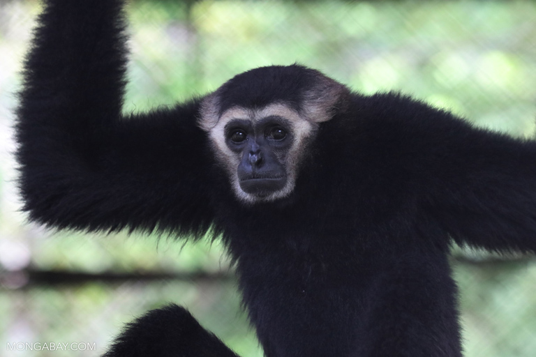 Southeast Asian gibbons are among 301 mammal species worldwide threatened with extinction due to hunting for bushmeat, and by large-scale commercial hunting, according to a new study. Photo by Rhett A. Butler / Mongabay