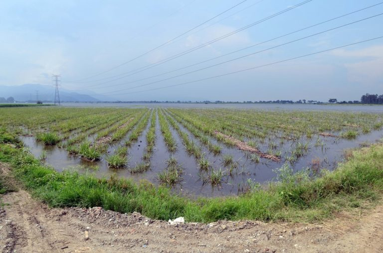 Flooded sugar cane fields near Colombia's third largest city, Cali, in the department of Valle Del Cauca, during an intense rainy season. Photo by Neil Palmer (CIAT)