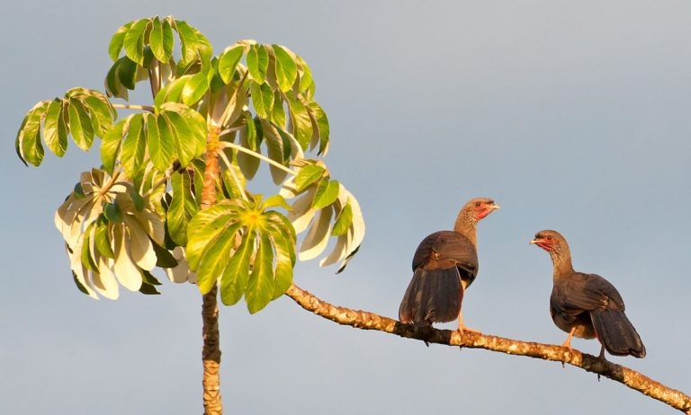 Two Chaco Chachalacas in Bonito, Mato Grosso do Sul, Brazil. Photo by Dario Sanches via Wikimedia Commons.
