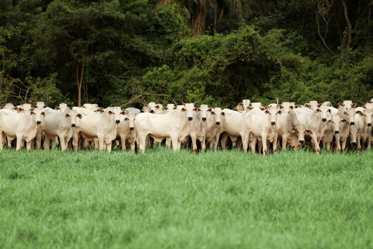 Cattle at one of the 70,000 suppliers used by JBS, one of Brazil's largest beef producers. Photo courtesy of JBS