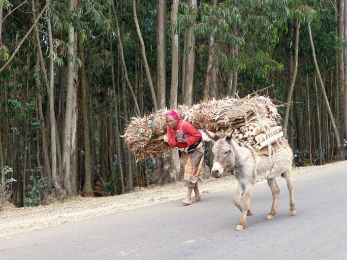A woman and donkey carry firewood and tree material from the Entoto forest. Photo by Ji-Elle via Wikimedia Commons.