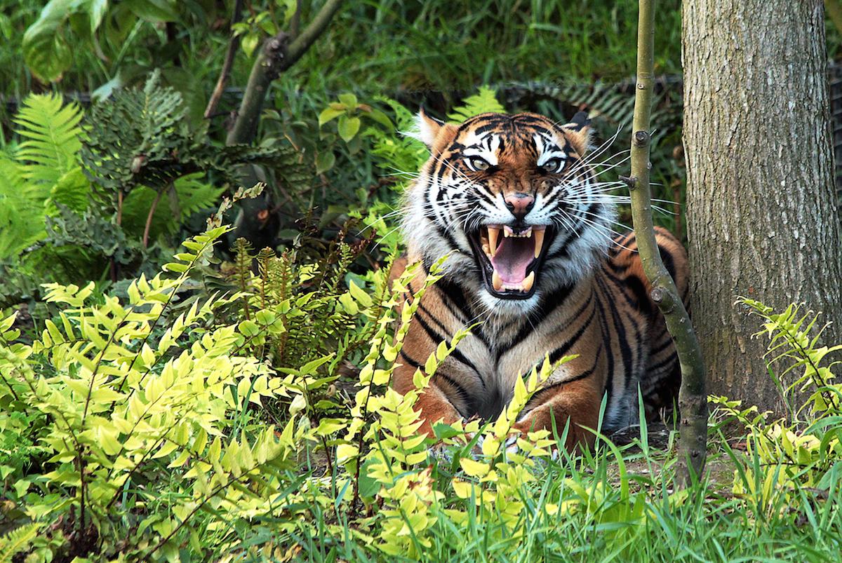 картинки тигр в джунгли хотите
