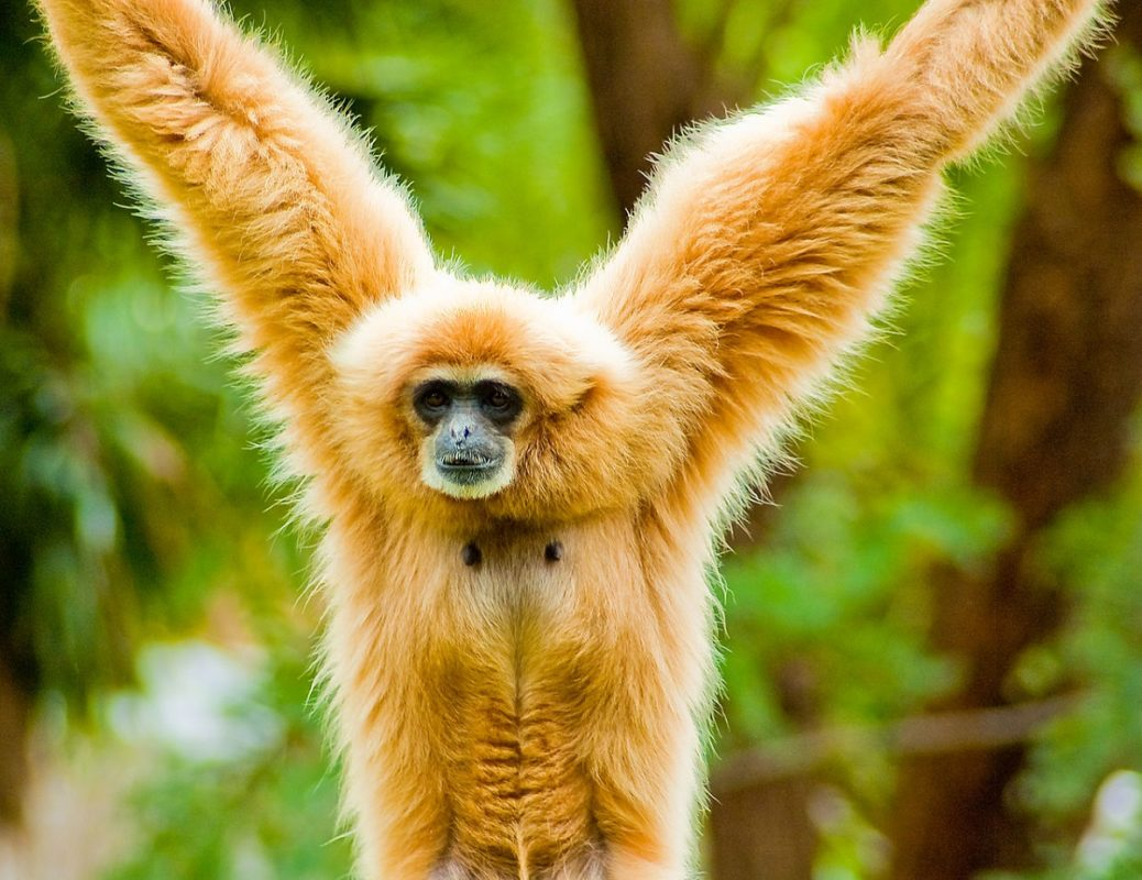 A white-handed gibbon. Photo by Thomas Tolkien/Wikimedia Commons
