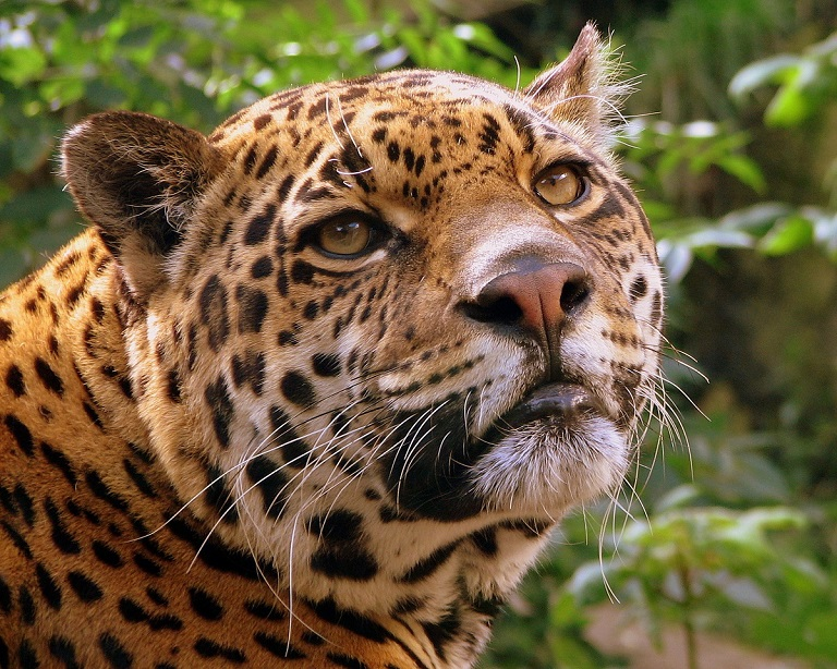 A jaguar (Panthera onca), one of the many animals found in Guyana's forests that are protected through sustainable logging. Photo by Pascal Blachier via Wikimedia Commons