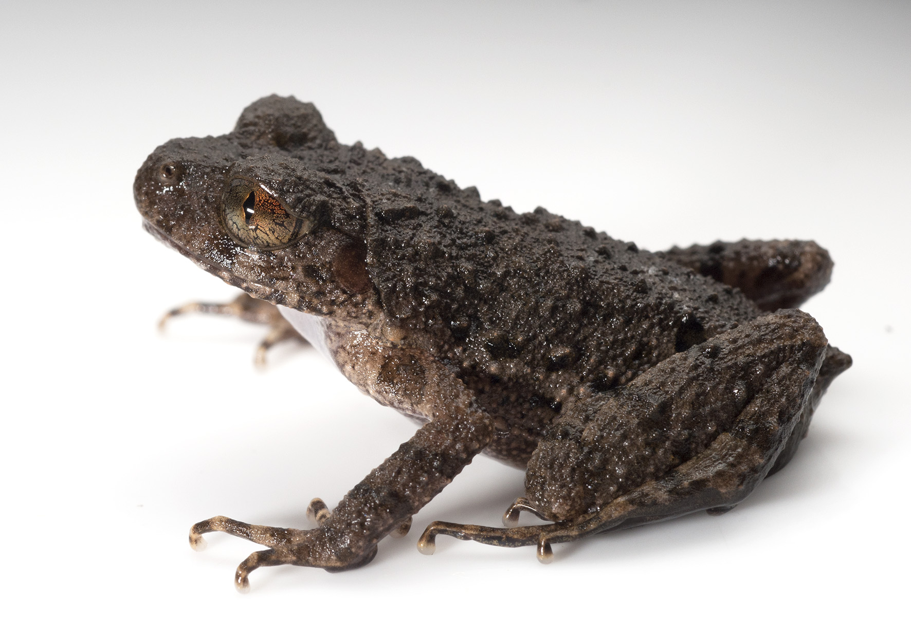 New frog species looks like a small piece of rock