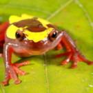 Two new clown tree frogs discovered in the Amazon