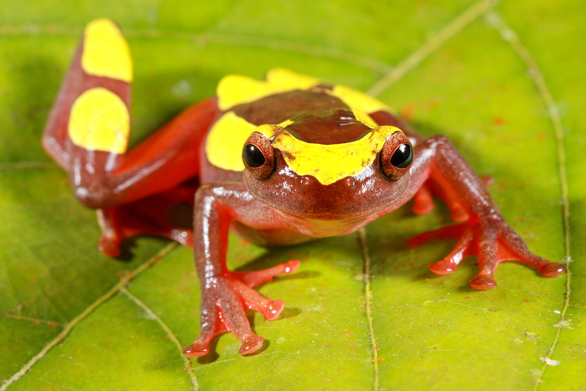 Two Clown Frog Species Identified from the Amazon