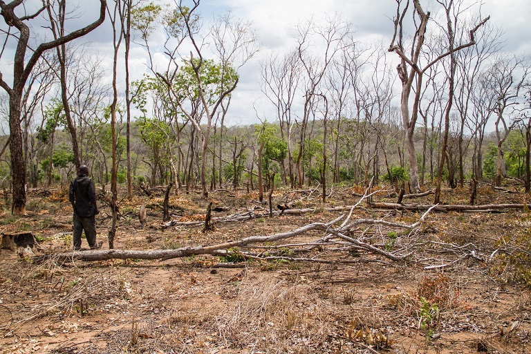 A farmer chops down trees and clears the natural forest to make way for a sesame farm near Nanjirinji A's forest reserve. Sesame farmers have been encroaching on the reserve in recent years and burning down mpingo and other valuable trees. Photo by Willy Lowry for Mongabay.