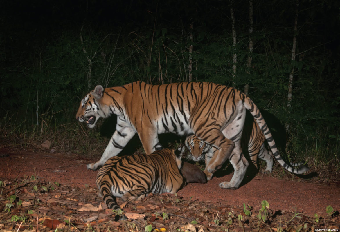 World's second breeding potion of Indochinese tigers ... on amur tiger map, sumatran tiger map, dhole map, african tiger map, indochinese tiger map, chinese tiger map, caspian tiger map, tiger habitat map, golden tiger map, south china tiger map, malayn tiger map, asiatic cheetah map,