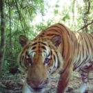 World's second breeding population of Indochinese tigers discovered in Thailand's forests