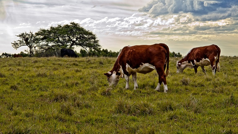 Two cows graze in South America. Photo by Marcelo César Augusto Romeo via Flickr