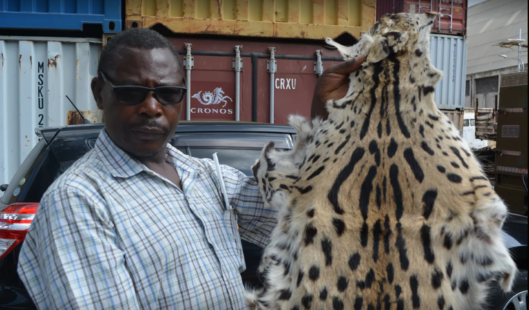 Dr. Ogeto Mwebi, a senior research scientist and the head of Osteology at the National Museums of Kenya (NMK), examines a confiscated animal pelt
