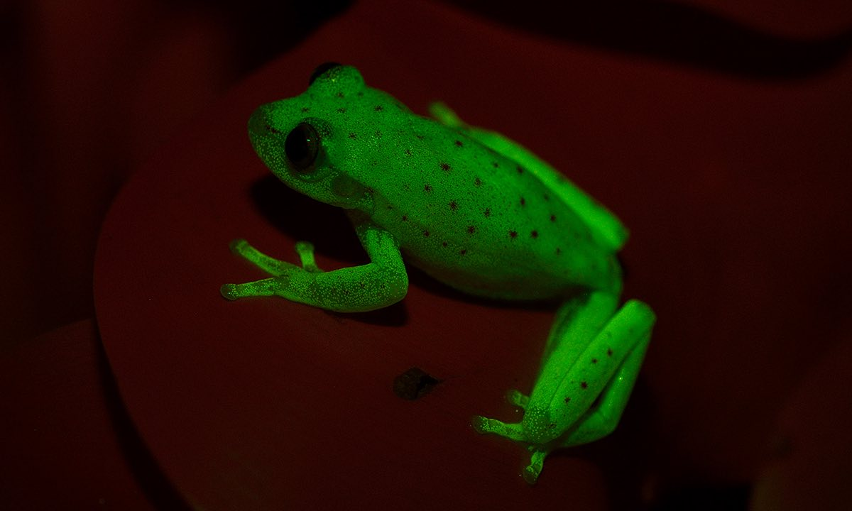 world u0027s first fluorescent frog discovered