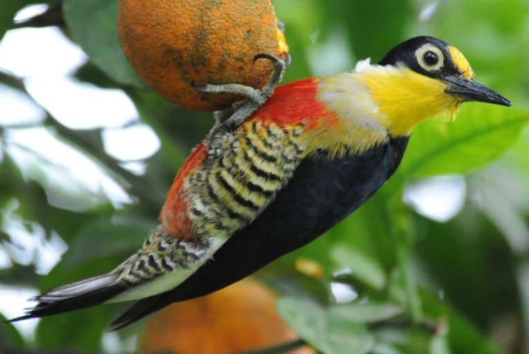 A yellow-fronted woodpecker (Melanerpes flavifrons) in Brazil's Atlantic Forest. Photo by Germano Woehl Junior for the Instituto Rã-bugio para Conservação da Biodiversidade.