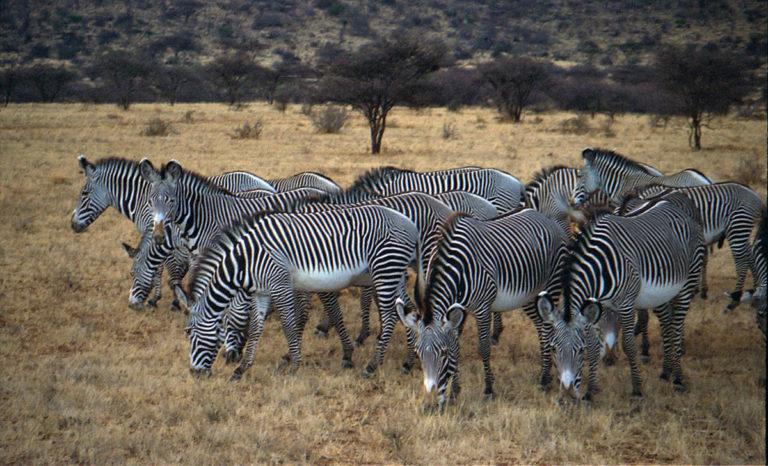Grevy's zebras in Samburu Reserve, Kenya