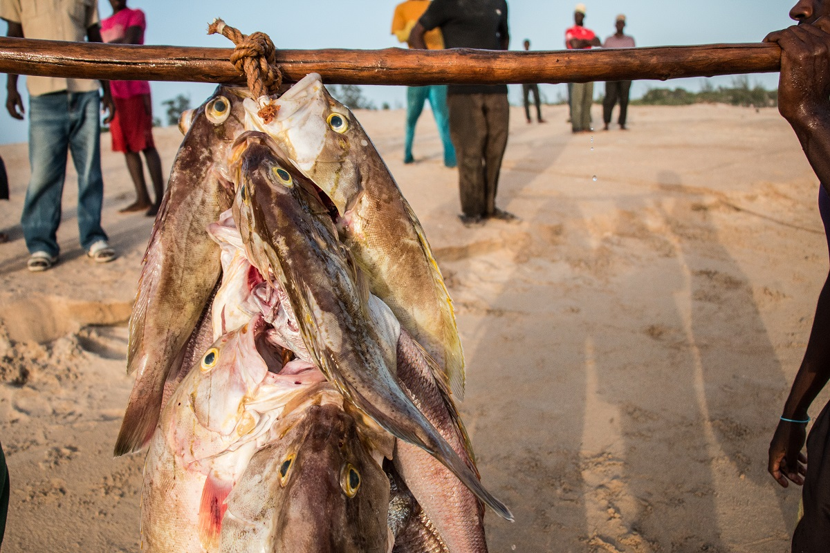 Part of a fisherman's meager catch from the Tana River. hoto by Nathan Siegel for Mongabay.