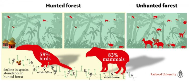 A decline of species abundance in hunted forest within 0-40 km from hunter access points. Image Credit: Radboud University/Joeri Borst